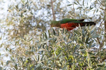 Parrot_Olivenbaum