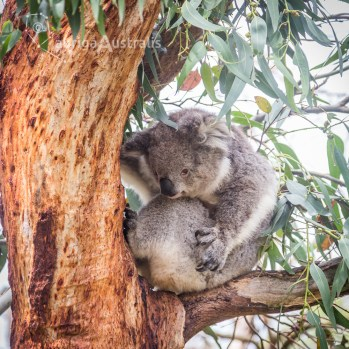 koala_conservation_centre_14