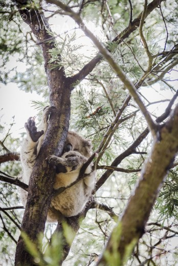 koala_conservation_centre_3