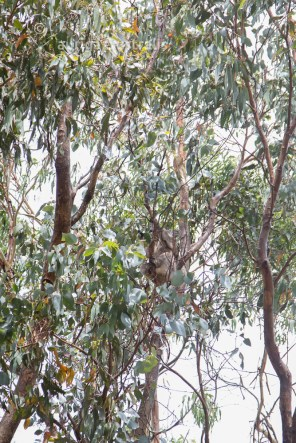 koala_conservation_centre_4