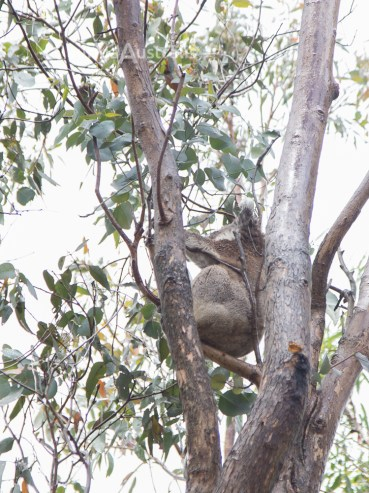 koala_conservation_centre_6