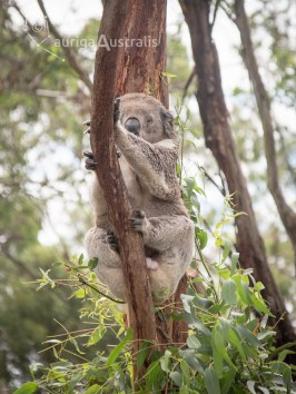 koala_conservation_centre_8