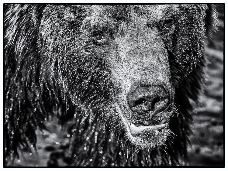 20110402-Grizzly_035-Bearbeitet