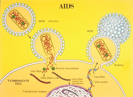 AIDS_life_cycle_illustration