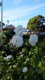 Roses at Hornsby Pool