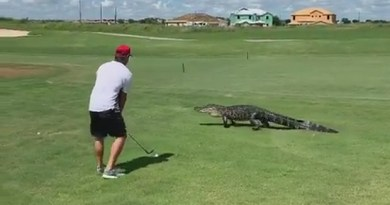 Golfer plays a shot over a wandering alligator