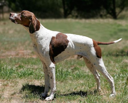 English_pointer