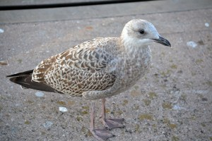 young-gull-235888_960_720