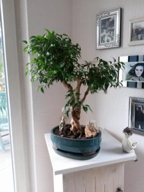 Ficus Blattschnitt vorher