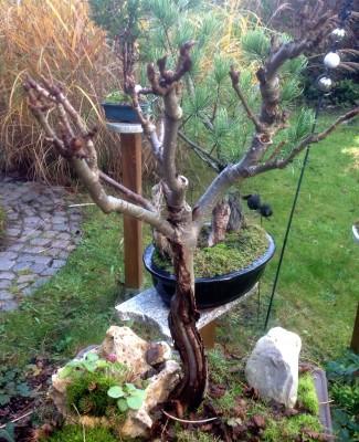 Eberesche im Herbst (blattlos ;-)