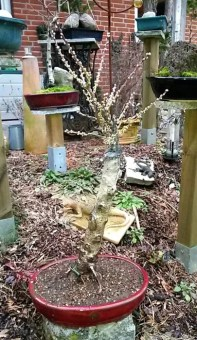 Pfirsichbaum in Schale