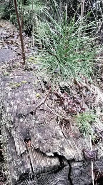 Entdeckung, Kiefer aus einer alten Bahnbohle