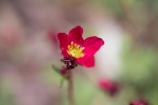 Rote Polsterblume