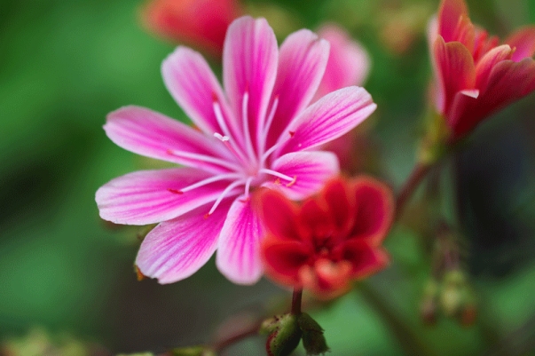 Blüten eines Dickblattgewächses