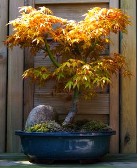 jap. Spitzahorn (Acer Orange Dream)