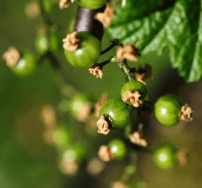 Johannisbeere Fruchtbildung