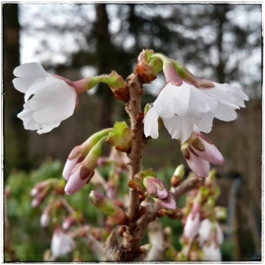 Blüten Zierkirschen