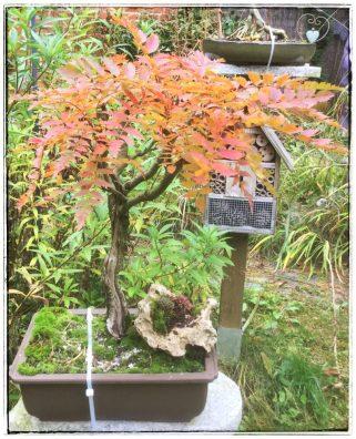 Eberesche (Herbstfärbung)