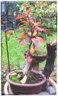 Kirsche (Herbstfärbung)