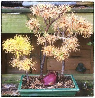 Mammutbaum 3er Wald (Herbstfärbung)