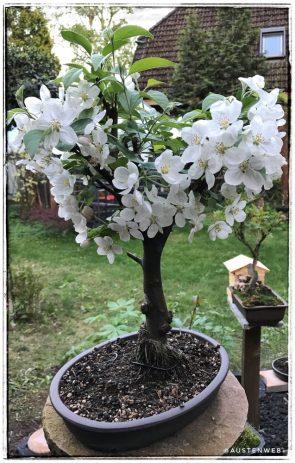 Zierapfel (Blüte)