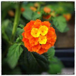 Blüte Wandelröschen