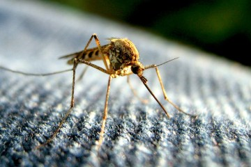A mosquito. Photo: Flickr user Tom, creative commons licensed.