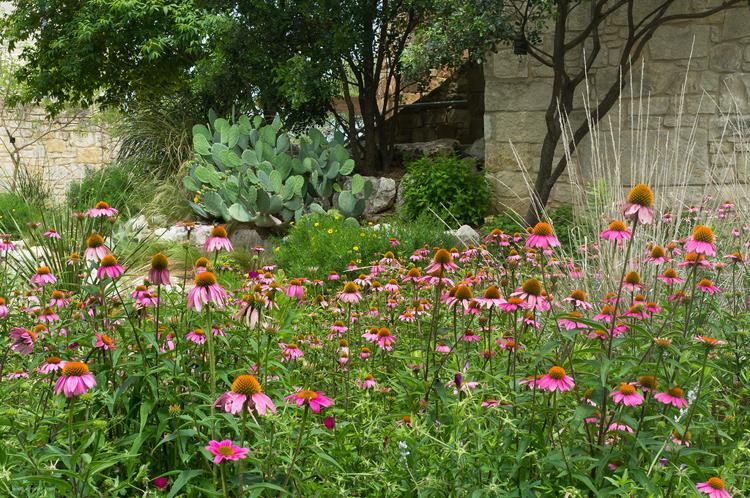 purple cone-flower prickly pear cactus lady bird johnson wildflower center