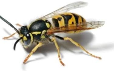 Austin Butterfly Forum Meeting: Stingers! An Intimate Look at Wasps