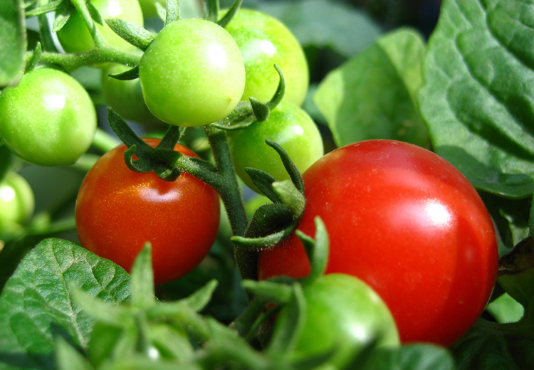 tomato-garden-harvest-plant-community-plot-produce-local-organic-sustainable-2