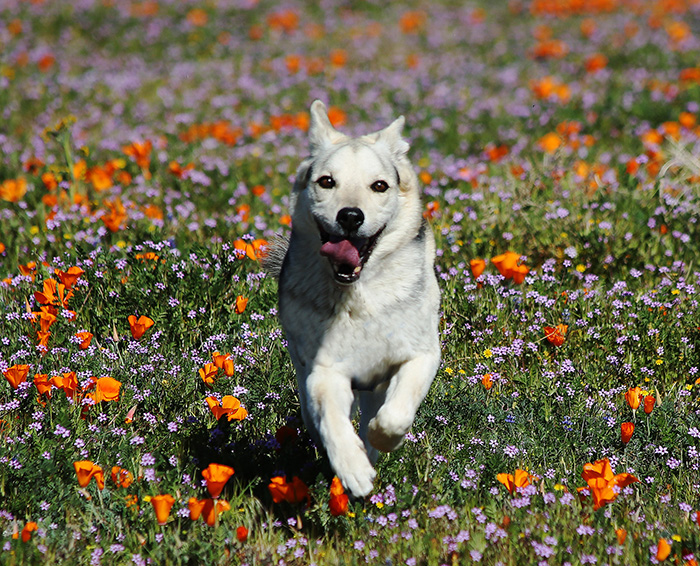 happy dog running sprinting texas wildflowers buttercups violets bluets spring pup