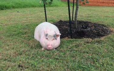 Social Media Savvy Austinites Reunite Pet Pig With Owner