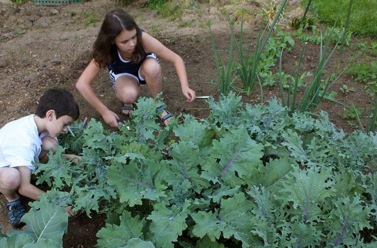https://commons.wikimedia.org/wiki/File:Kids_harvesting_kale.jpg