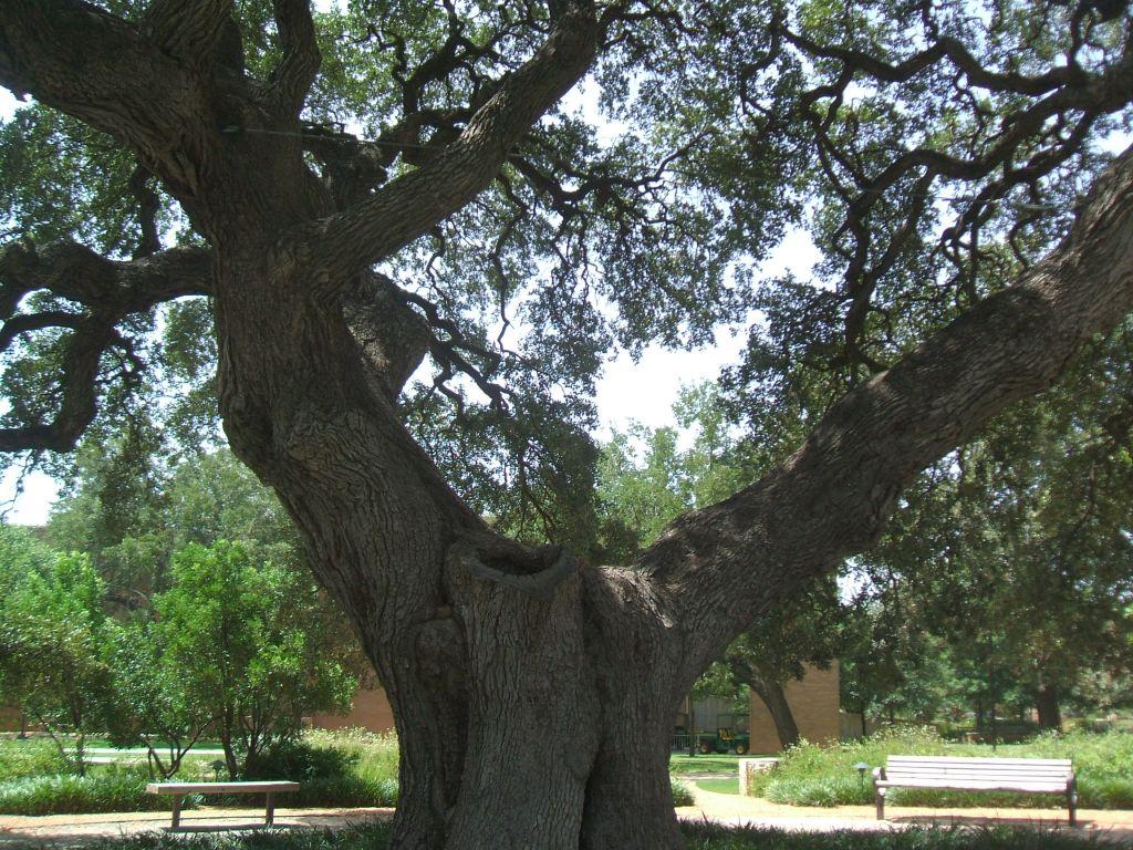 sorin oak tree live st. edward's university