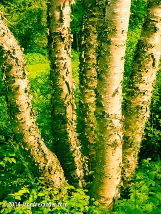 River Birches, Grandstanding by Jann Alexander ©2014