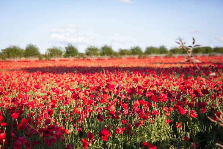 Wildseed Farms Flowers