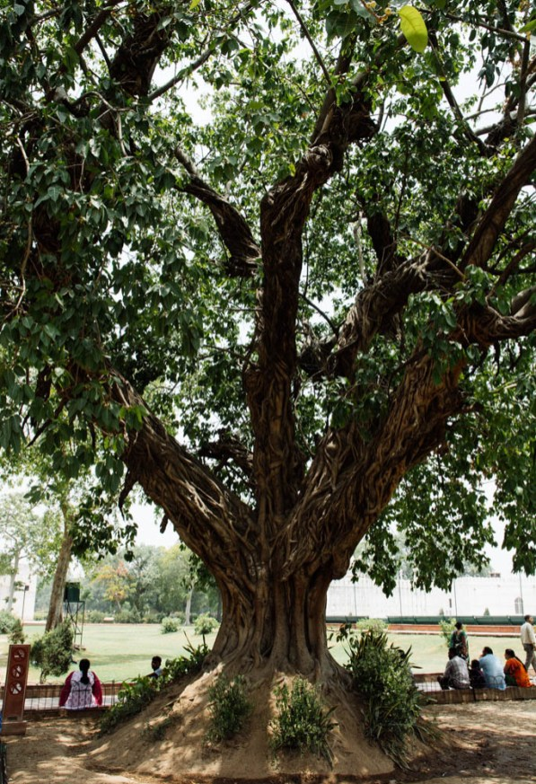 Red Fort had a bunch of really cool looking trees
