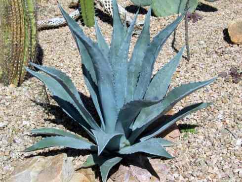 Agave americana_century_plant_drought_tolerant_designer_austin_xeriscaping