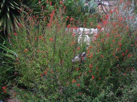 Anisacanthus quadrifidus var. wrightii, Flame Acanthus_Best_Xeriscape_Plants_For_Texas