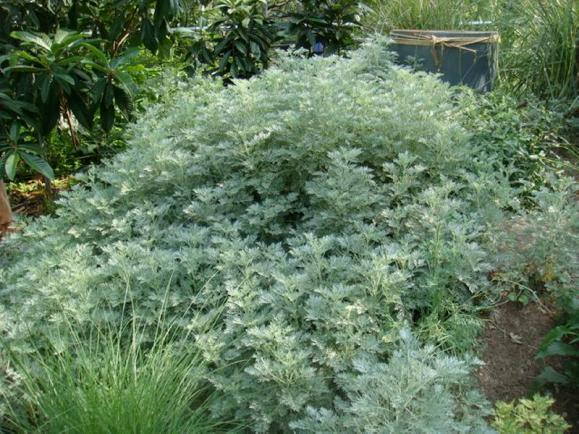 Artemisia_Powis_Castle_Satiny_Wormwood_Mugwort_Silvermound_Artemisia_Texas_Native_Landscaping