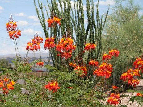 Caesalpinia pulcherrima_Pride_Of_Barbados_Texas_native_landscaping_Drought_tolerant_proof_deer_resistant_landscaping