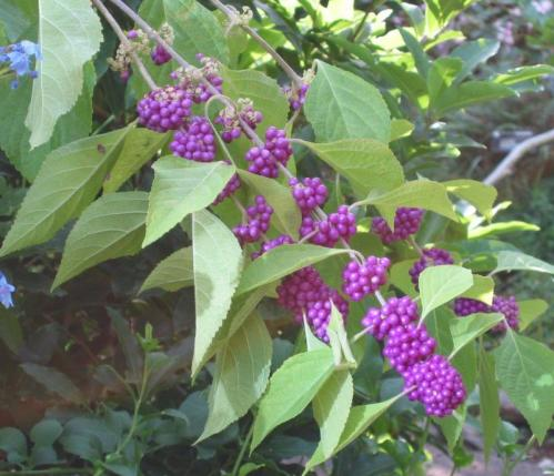 Callicarpa americana_american_beautyberry_native_deisgner_landscping_shade_texas