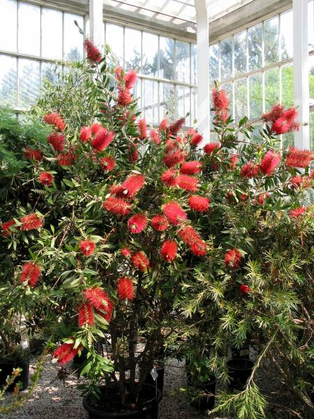 Callistemon_Citrinus_Bottlebrush_Tree_Shrub_Texas_Austin_Native_Landscaping