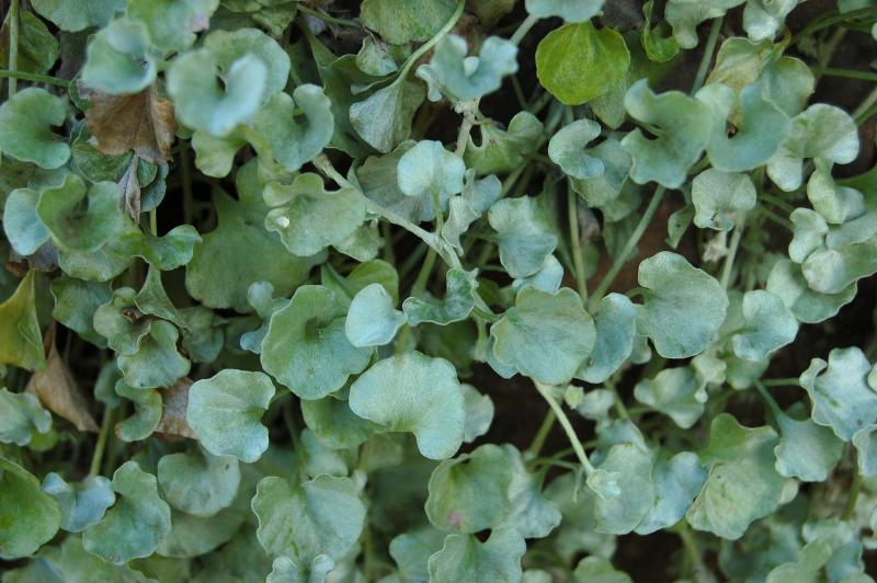 Dichondra argentea_silver_ponyfoot_drought_tolernat_proof_resistant_landscping_texas