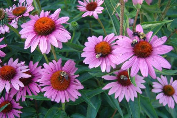 Echinacea purpurea_purple_coneflower_austin_xeriscaping_desing_native_plants_texas