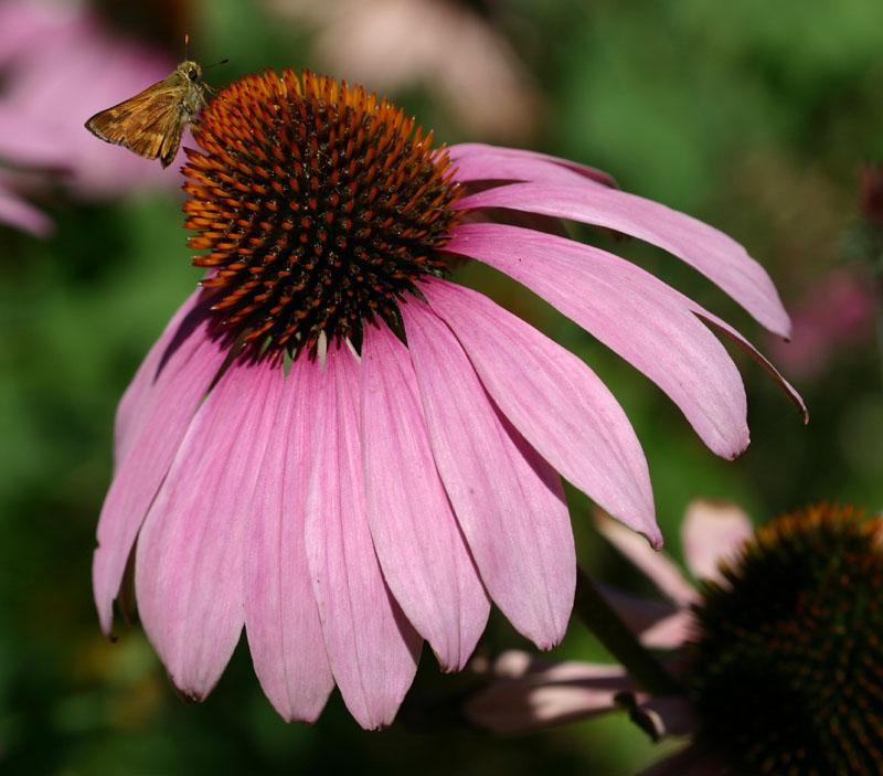Echinacea purpurea_purple_coneflower_best_xeriscape_plants_for_texas