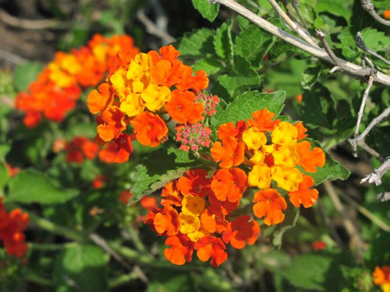 Lantana_Urticoides_Texas_Lantana_Native_austin_plant_best