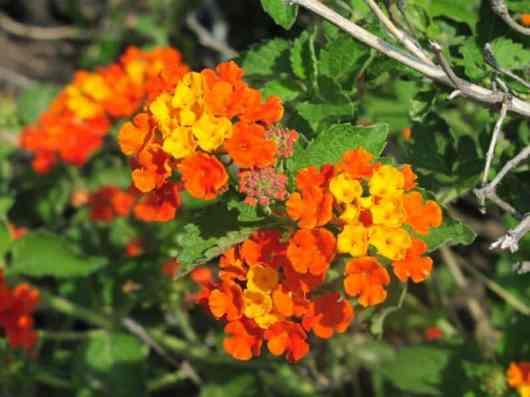 Lantana_Urticoides_Texas_Lantana_Native_austin_plant_best