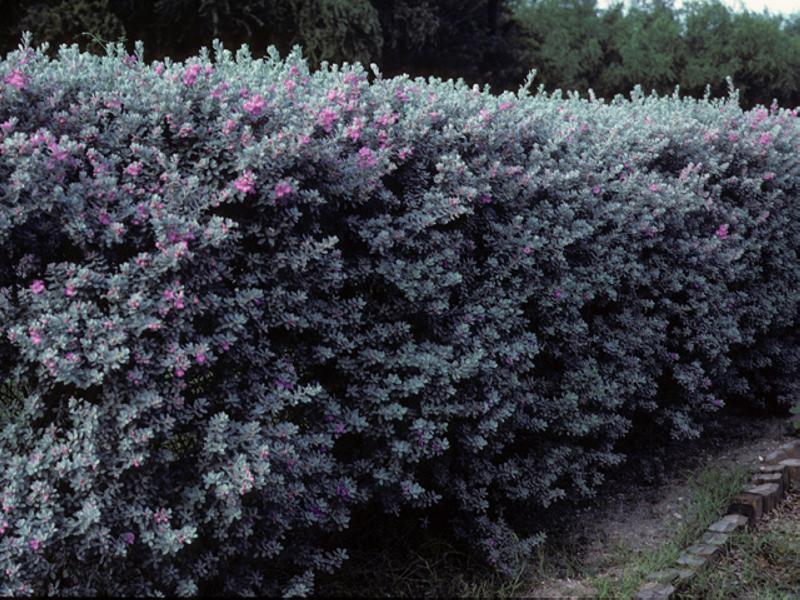 Leucophyllum_Frutescens_Texas_Sage_Native_Landscaping_Austin_Purple_Sage