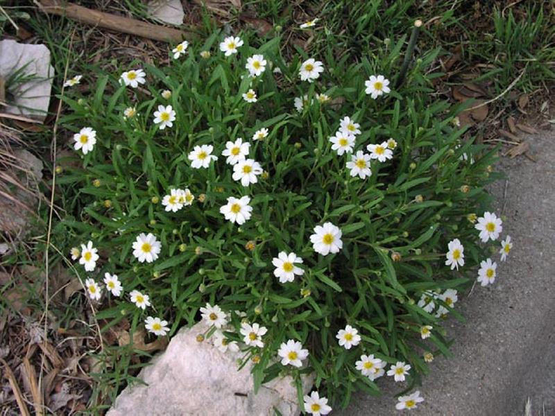 Melampodium Leucanthum_Black_Foot_Daisy_Texas_native_plant_waterwise